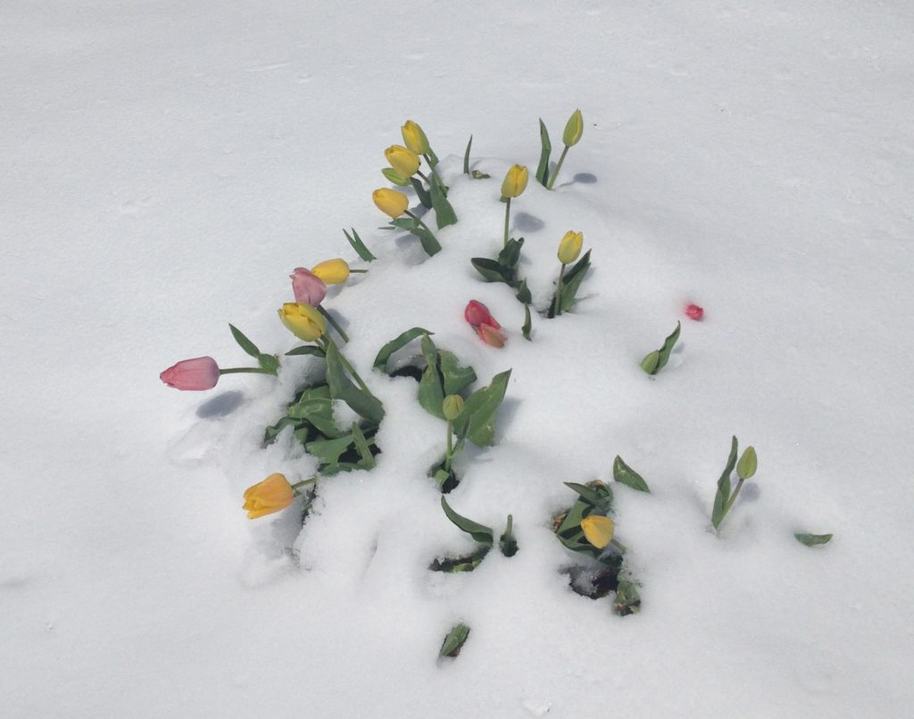 If I still had PMS, these tulips in the snow would probably have made me cry. Also, this was MAY FIRST.
